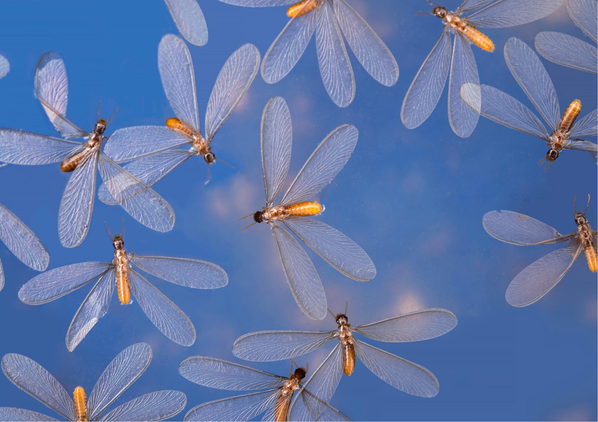Alates Flying Termites